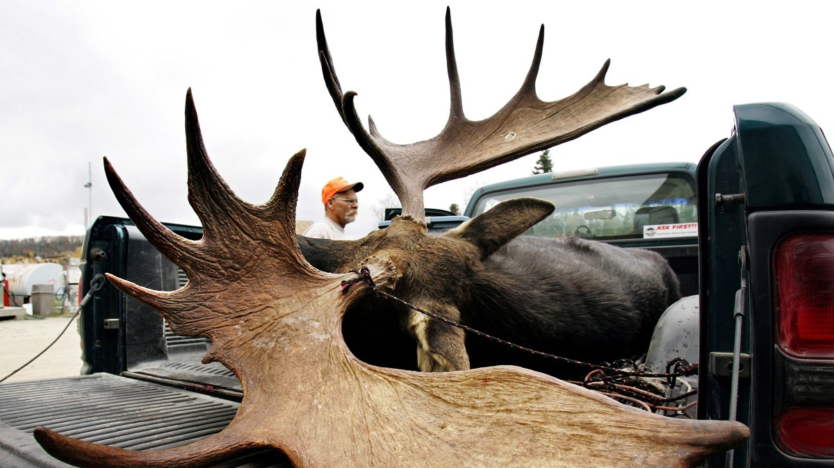 Thanks To Parasites, Moose Are Looking More Like Ghosts