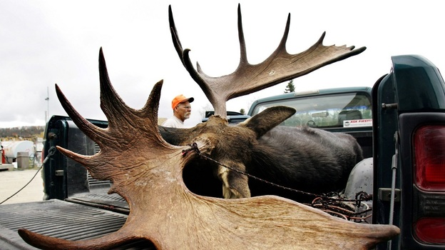 A large bull moose is inspected by a hunter at a weigh station in Maine. (AP)