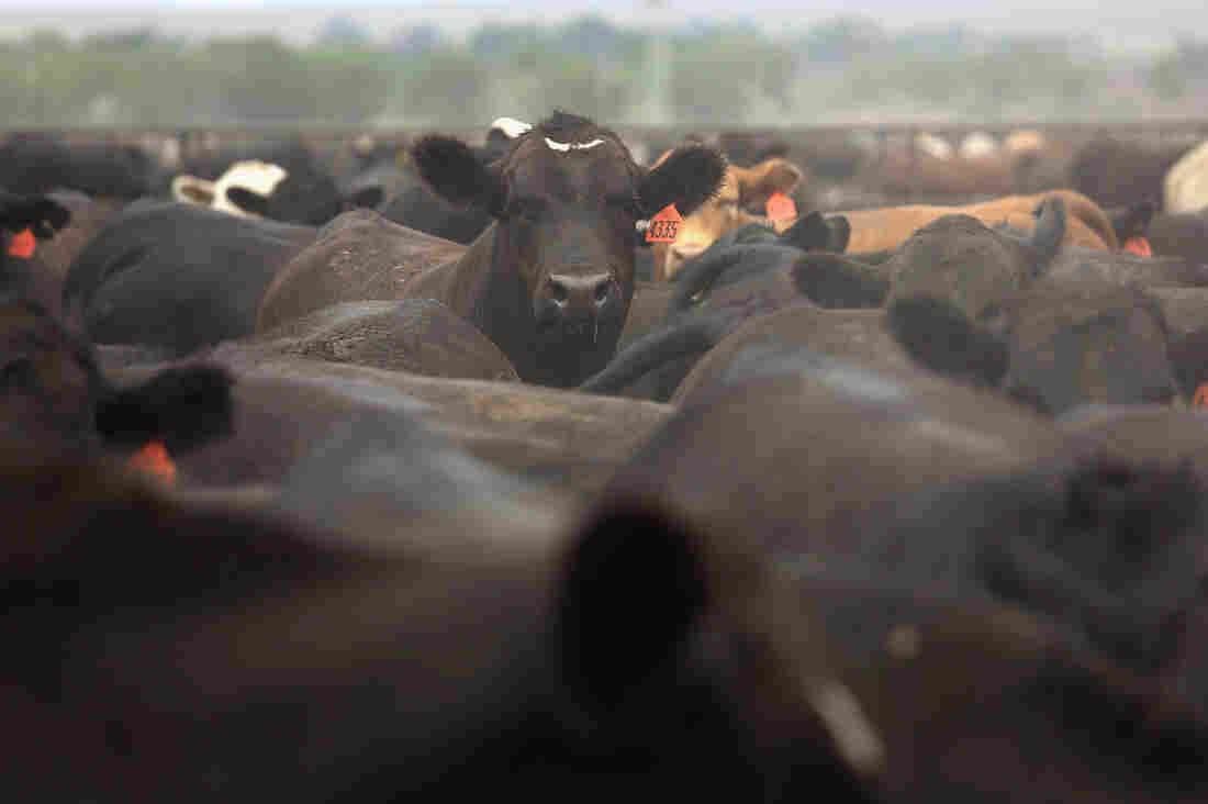 Cattle crowd inside a feedlot operated by JBS Five Rivers Colorado Beef in Wiley, Colo.