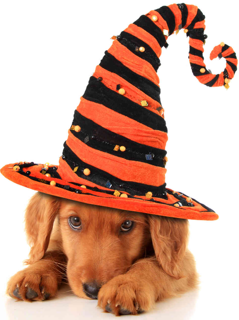 Puppy wearing a Halloween witch hat.
