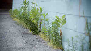 Weeds growing between pavement and wall.