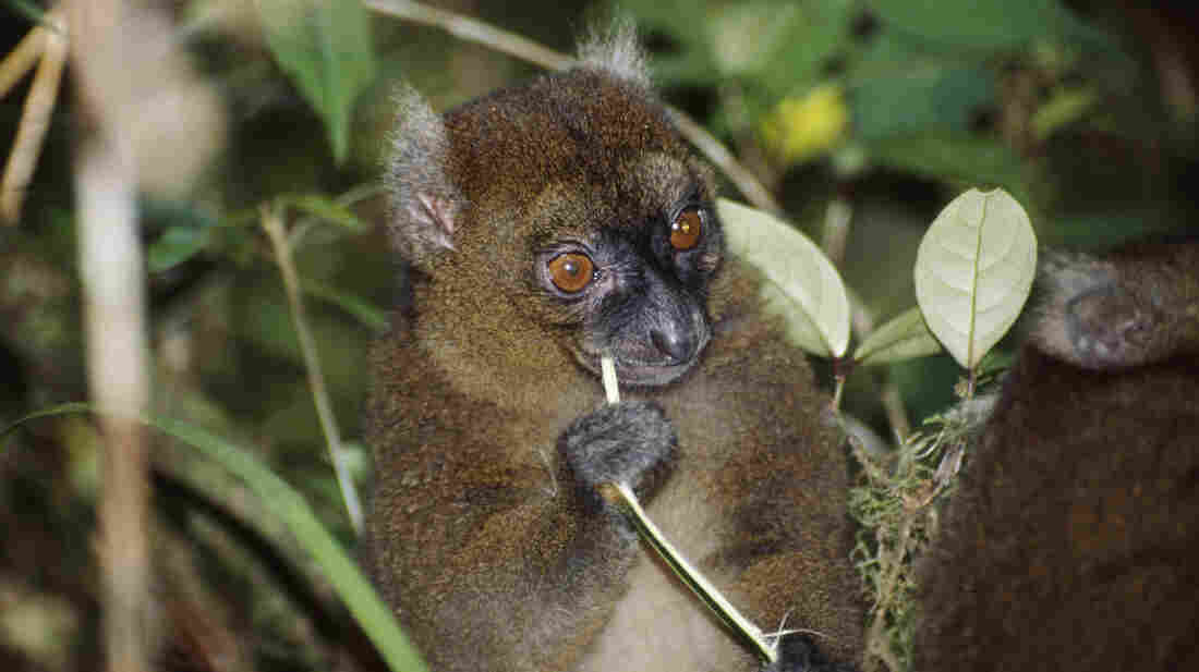 A greater bamboo lemur in Ranomafana National Park, Madagascar, in 2000. Scientists say their numbers have dwindled due to slash-and-burn agriculture and climate change, which have reduced the amount of fresh bamboo available to them.