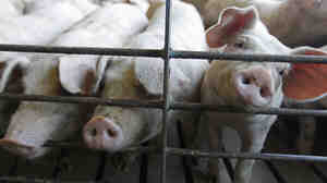 In recent years, pork producers have found ways to keep the animals healthy through improved hygiene.
