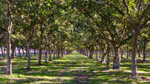 A walnut orchard in California's Central Valley.