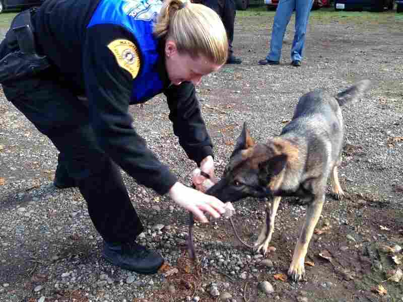"A Washington state trooper rewards a drug-sniffing dog named Piper for ""alerting"" on a hidden drug. The dogs are no longer trained to recognize marijuana."