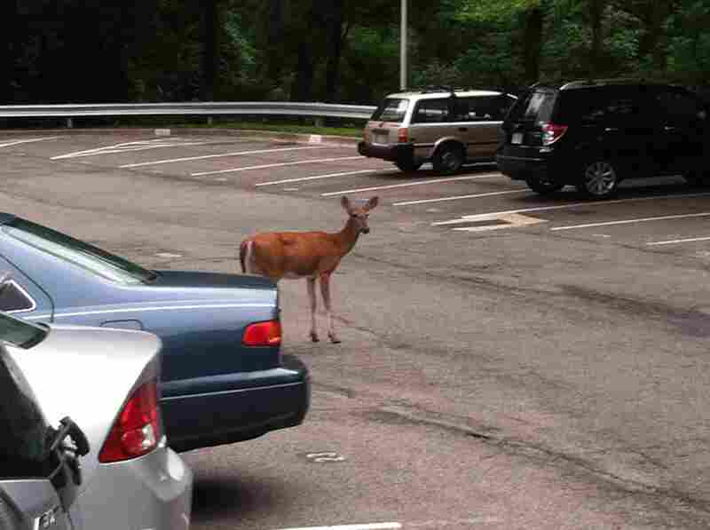 One of the deer Morning Edition Supervising Senior Editor Kitty Eisele sees during her commute home very, very early in the morning.