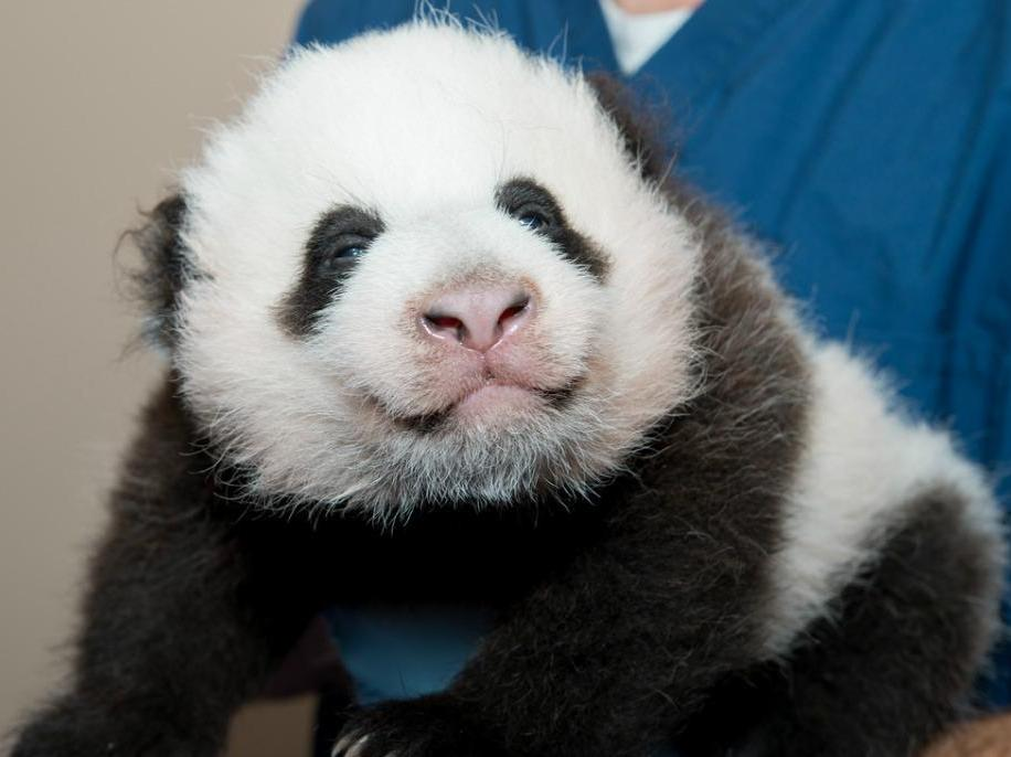 Another Election?! Relax, This One's To Name A Baby Panda