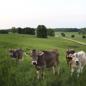 Cows on the grassy hillsides of Shelburne Farms in Vermont.