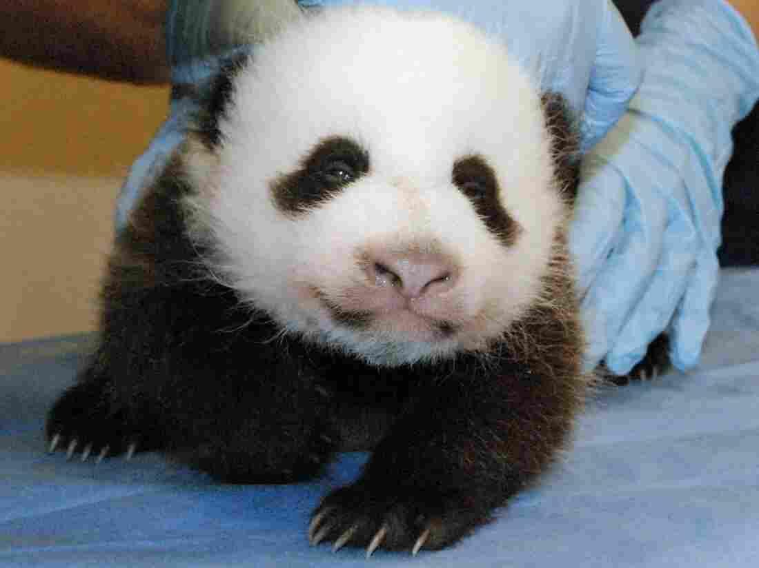 Smithsonian's National Zoo shows Mei Xiang's giant panda cub undergoing an exam on Oct. 11, 2013, at the zoo in Washington.
