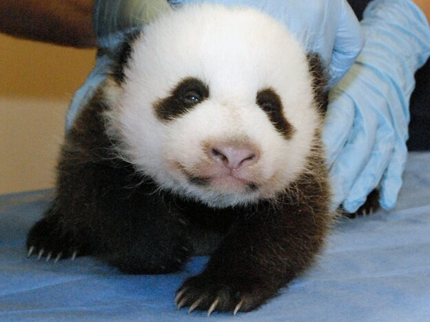 Smithsonian's National Zoo shows Mei Xiang's giant panda cub undergoing an exam on Oct. 11, 2013, at the zoo in Washington.