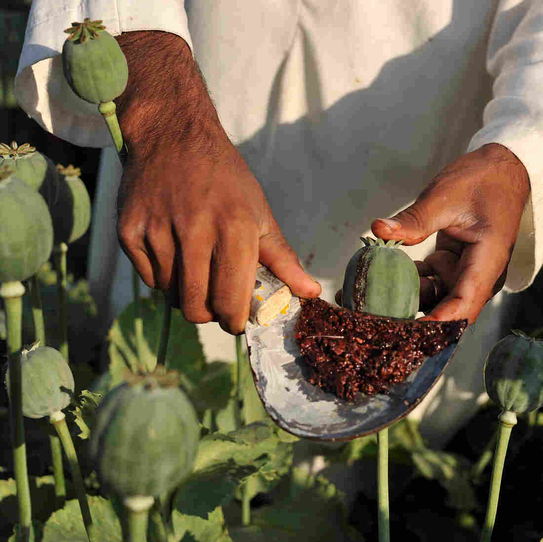 Afghan Farmers: Opium Is The Only Way To Make A Living