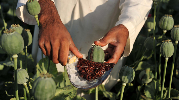 An Afghan farmer collects raw opium as he works in a poppy field in Nangarhar province on April 29. Poppy cultivation reached a record high this year despite Western efforts to reduce it. (AFP/Getty Images)
