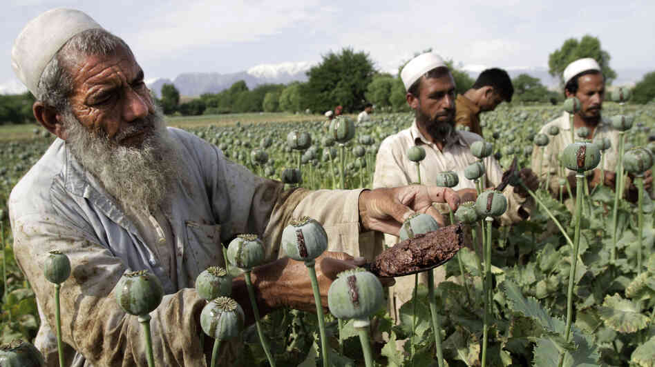 Afghan farmers collect raw opium earlier this year in a poppy field in the Khogyani district of Jalalabad, east of Kabul. Afghanistan's opium production surged in 2013 to record levels, despite 12 years of international efforts to wean the country off the narcotics trade, according to a U.N. report released Wednesday.