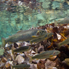 Native Westslope cutthroat trout and bull trout swim in the cool waters of the Flathead River near Glacier National Park, Montana.