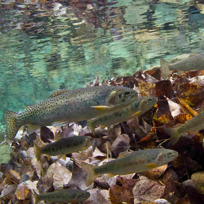 As Climate Warms American West, Iconic Trout In Jeopardy