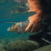 Trout fishing is big business in Montana, bringing in tens of millions of dollars annually.