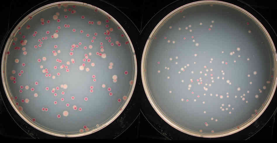 Image of two plates of bacteria; left plate has equal numbers of 'red' and 'pale' bacteria colonies whereas the right plate is predominantly 'pale' bacteria