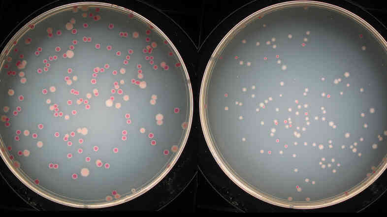 The plate on the left contains about equal numbers of colonies of two different bacteria. After the bacteria compete and evolve, the lighter ones have taken the lead in the plate on the right.