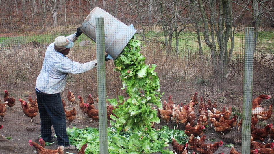 Feeding the chickens at New Morning Farm.