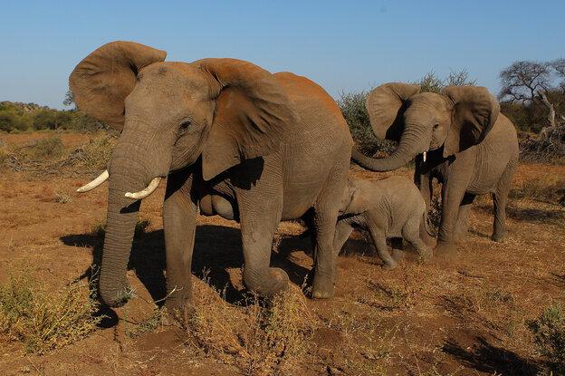 Elephants at the Mashatu game reserve in Mapungubwe, Botswana.