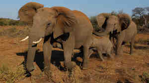 Elephants at the Mashatu game reserve in Mapungubwe, Botswana.