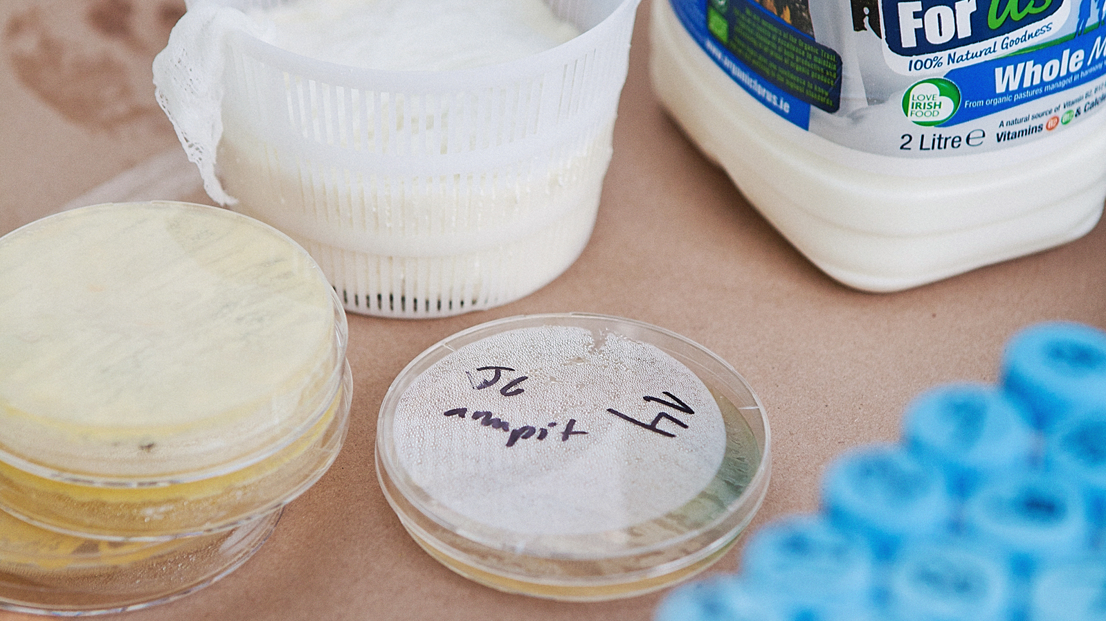 The cheesemakers collected swabs from volunteers, then let the bacteria and yeast multiply in Petri dishes in the lab before putting them into fresh milk.