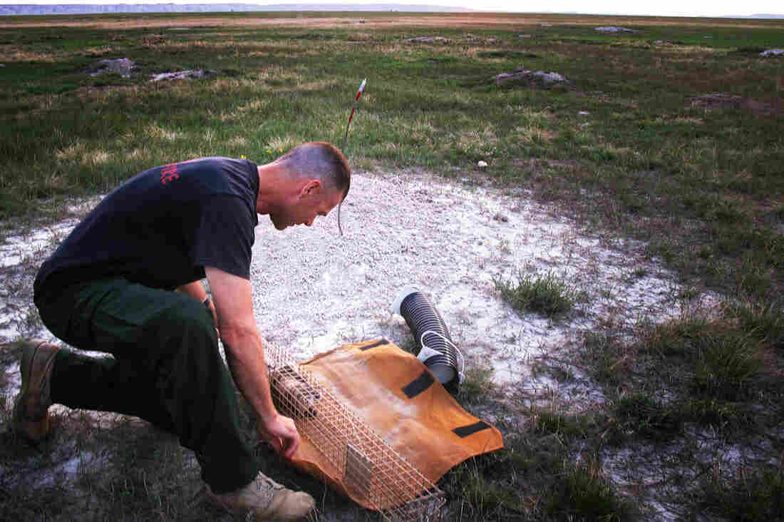 Forest Service biologist Randy Griebel catches a black-footed ferret after a night of searching.