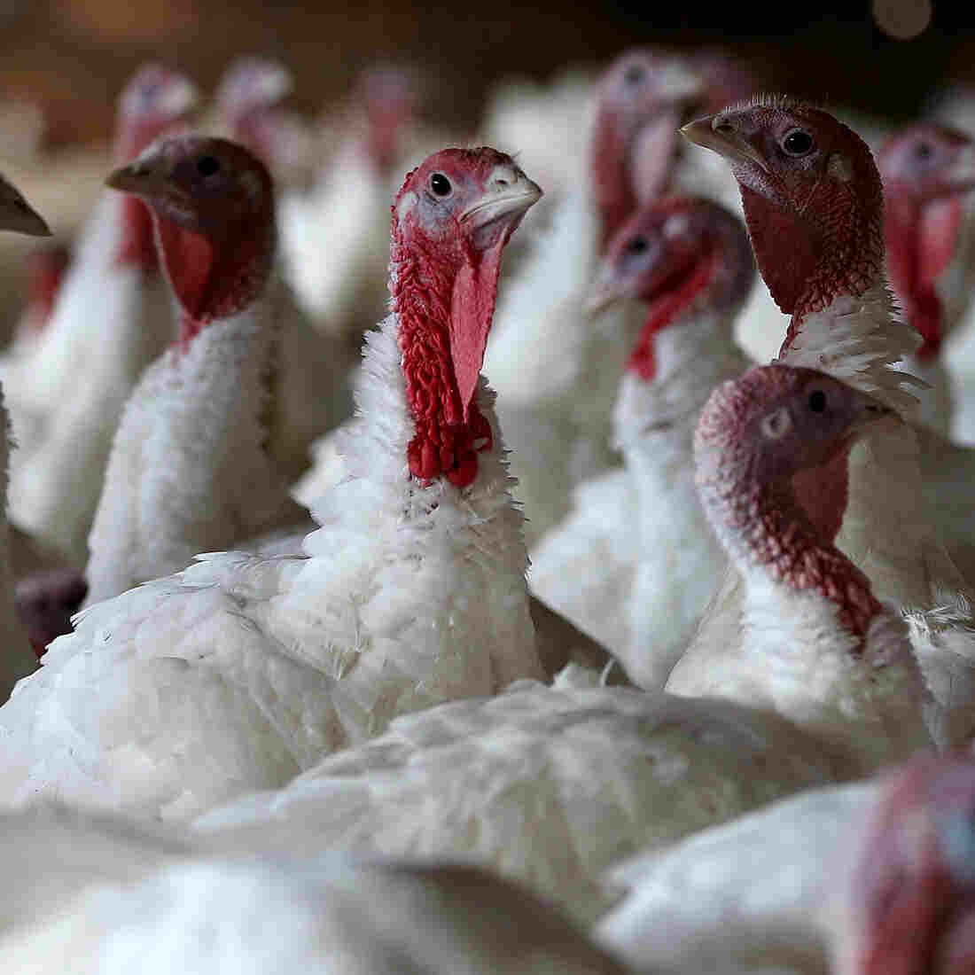 Did Your Thanksgiving Turkey Take Any Antibiotics?