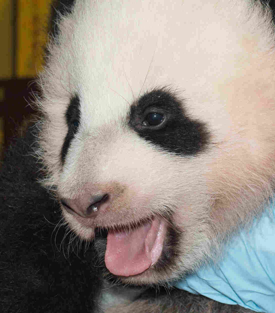 Bao Bao, the Smithsonian's giant panda cub, on Nov. 29.