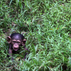 A four-month-old baby Chimpanzee is seen at the National Zoo in Kuala Lumpur in February 2013.