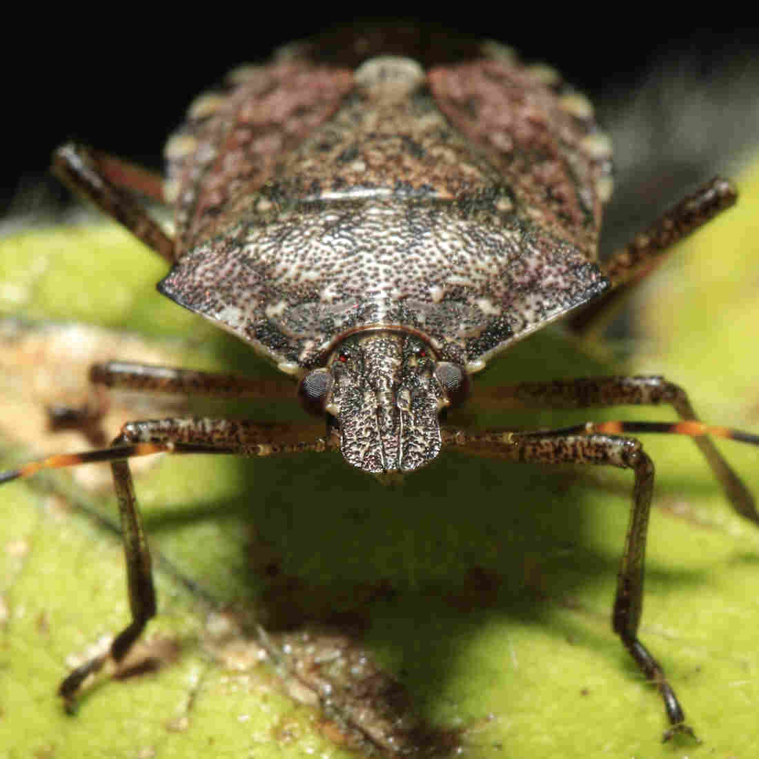 From 'Death Jars' To Wasps: A Quest To Stamp Out The Stink Bug