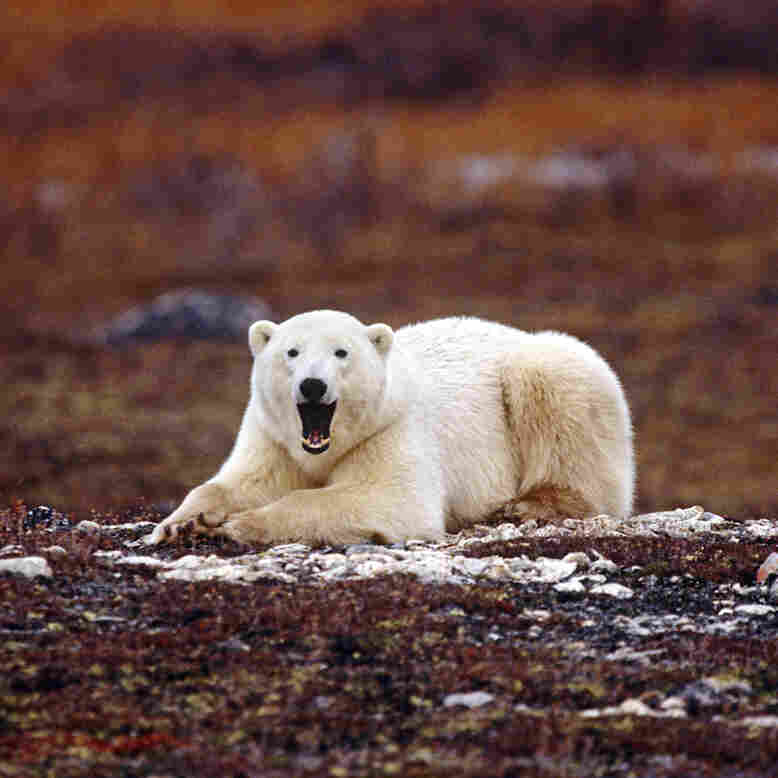 Threatened Arctic polar bears have become controversial icons of climate change.