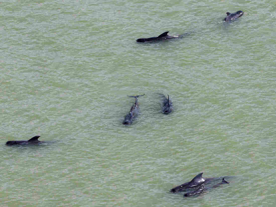 Dozens of pilot whales are stranded in shallow water in a remote area of Florida's Everglades National Park.