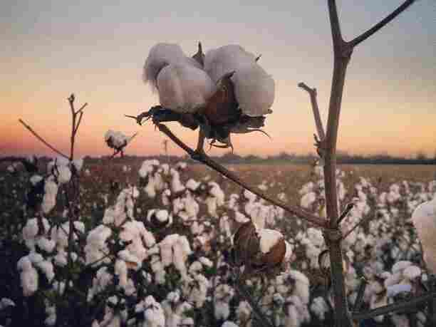 It took Bowen Flowers and his men only two days to harvest a thousand acres of cotton. By sunset, this was just about the only cotton left to pick.