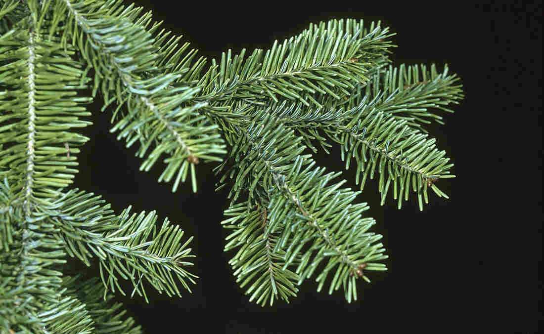 The tips of balsam fir trees are used to make Christmas wreaths.