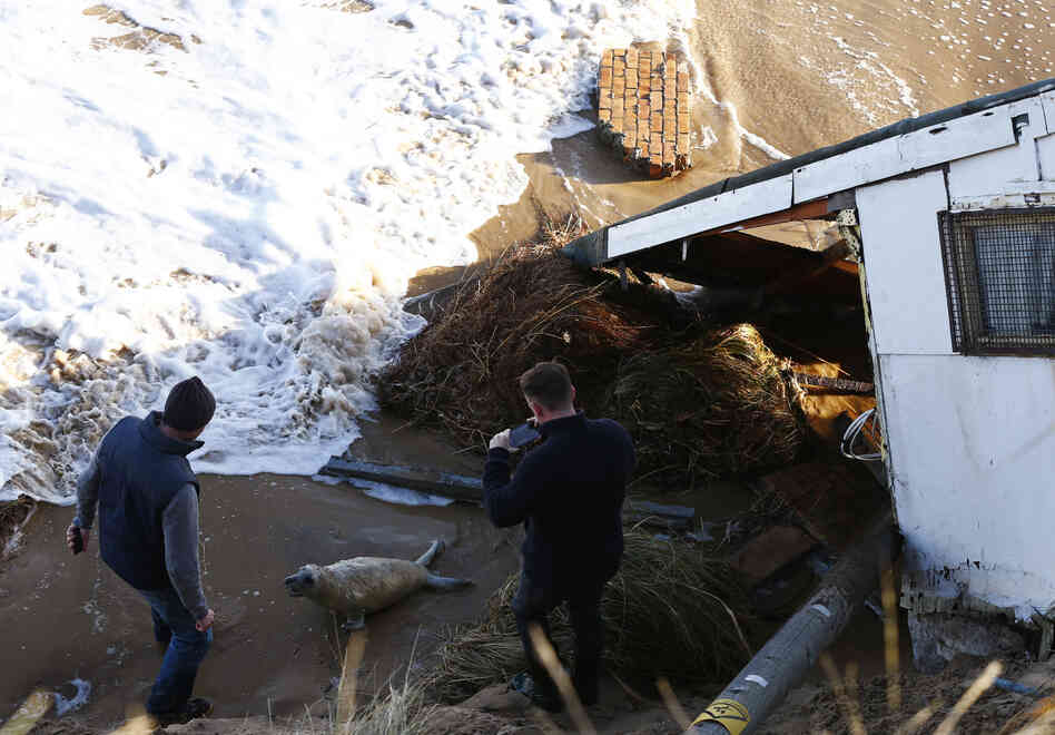 Men take pictures as they try to move a seal pup away from a house, which has fallen into the sea, during a storm surge in Hemsby, eastern England,