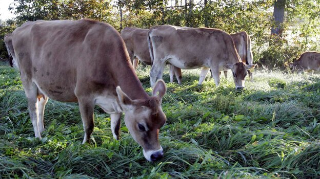 Cows graze in a pasture at the University of New Hampshire's organic dairy farm in Lee, N.H., Sept. 27, 2006.
