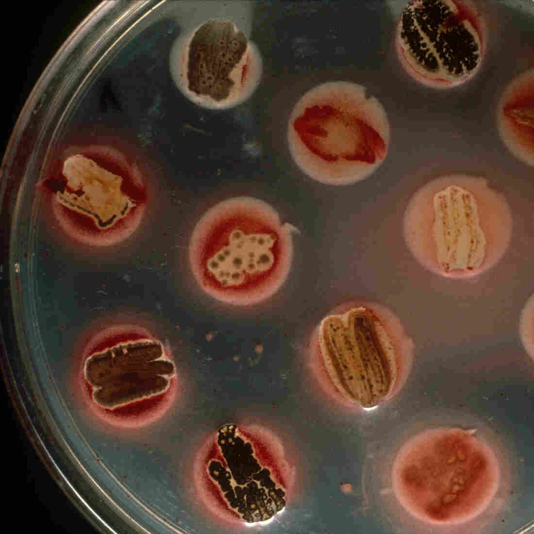 Yes, you could do this at home. Growing bacteria you find in a pile of dirt or a local pond might reveal the next big antibiotic.