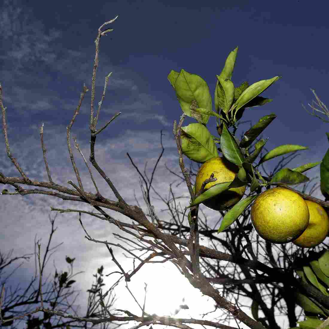 Oranges ripen in a Plant City, Fla., grove on Wednesday. Growers in Florida, Texas and California are worried about citrus greening, a disease that makes the fruit bitter and unmarketable.