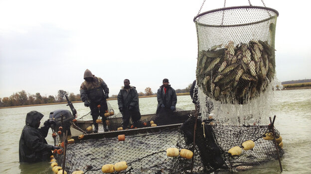 Workers gather catfish into large nets at a fish farm in Doddsville, Miss. The fish are placed in large tank