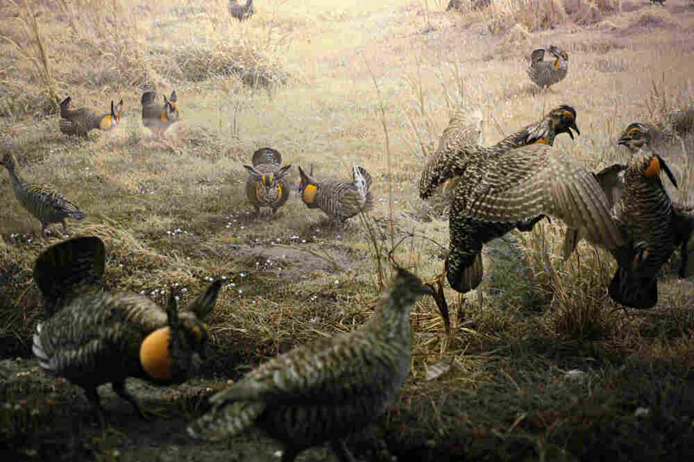 The Upland Gamebirds diorama, significantly reconfigured for the museum's 1964 reopening.