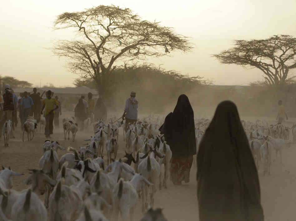 Somali refugees lead their herds of goats home for the night outside Dadaab, Kenya. A new study shows that animals in many parts of the developing world require more food — and generate more greenhouse emissions —  than animals in wealthy countries.