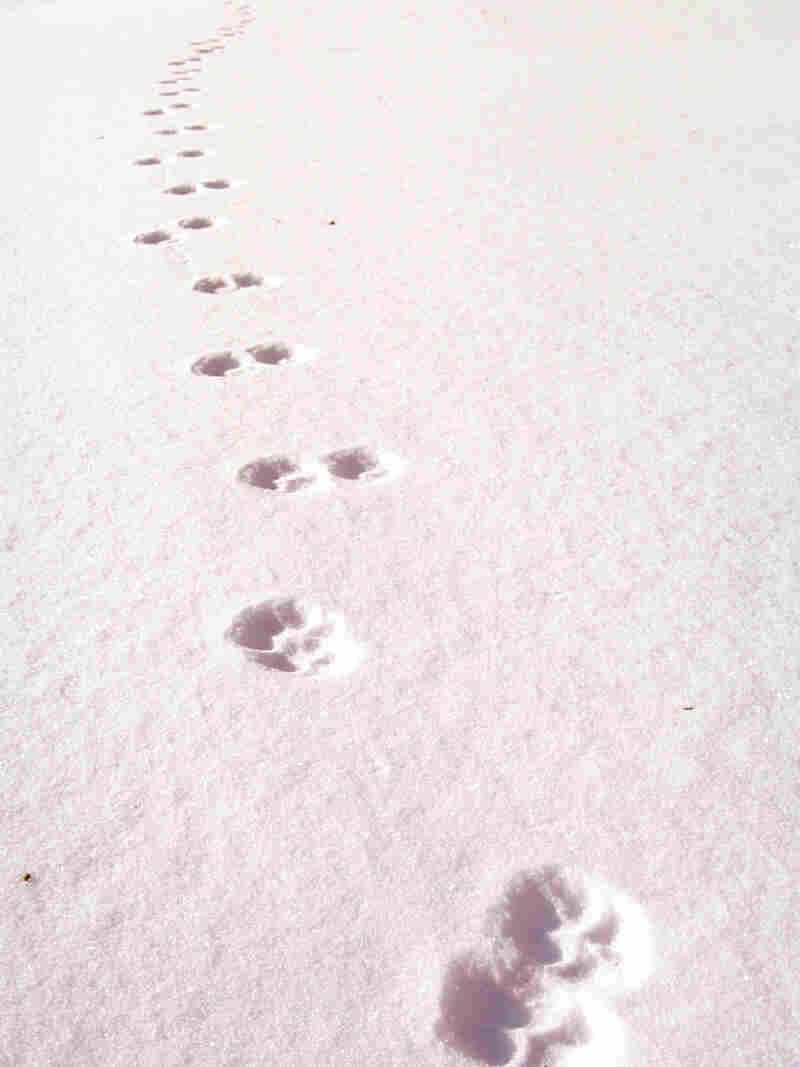 Coyote tracks mark the fresh snow in Maine's Baxter State Park. One Maine trapper says a coyote fur worth $7 a decade ago sells for $50 today.
