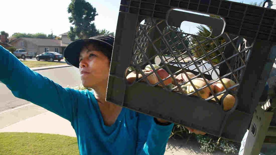 Sarah Ramirez runs an organization that brings excess produce to the hungry. Here, she gleans apples from a front yard.