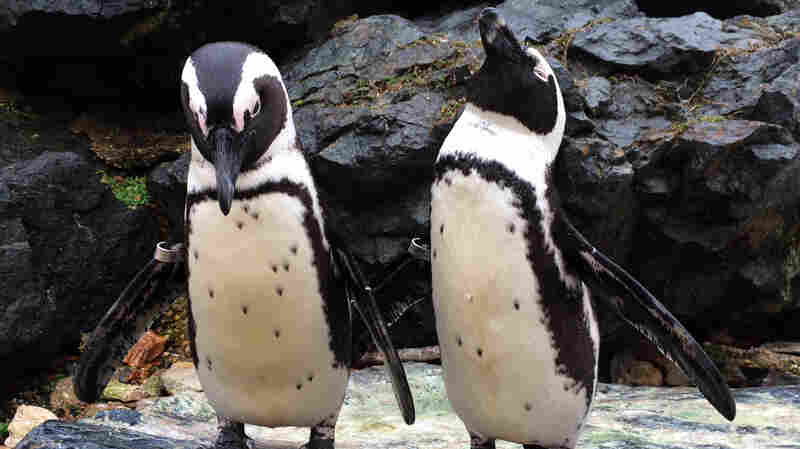 Two African penguins stretch their flippers at the Maryland Zoo.