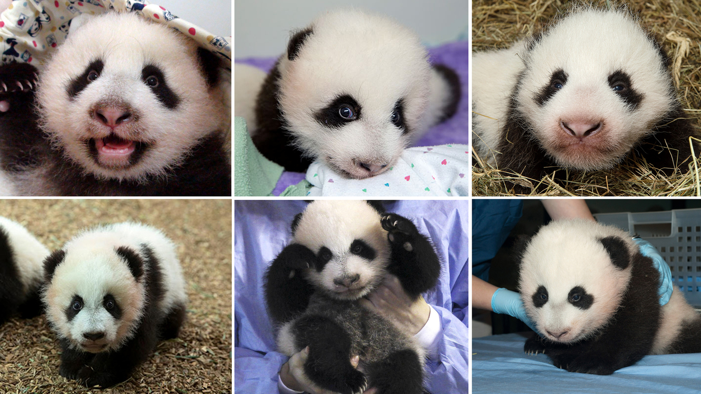 Beyond Cuteness: Scientists Deliver A Panda Baby Boom
