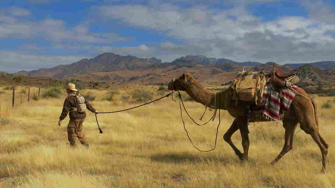 The Texas Camel Corps guides camel treks through the Big Bend region of Texas, where such animals once served American settlers in the late 1800s.