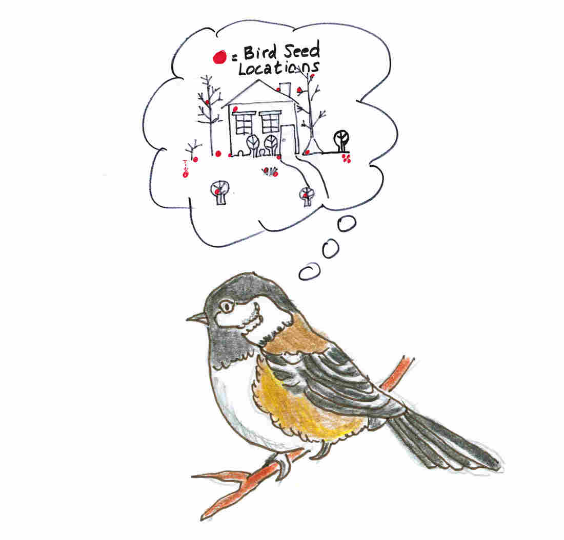 Chickadees have to remember where they store their seeds.
