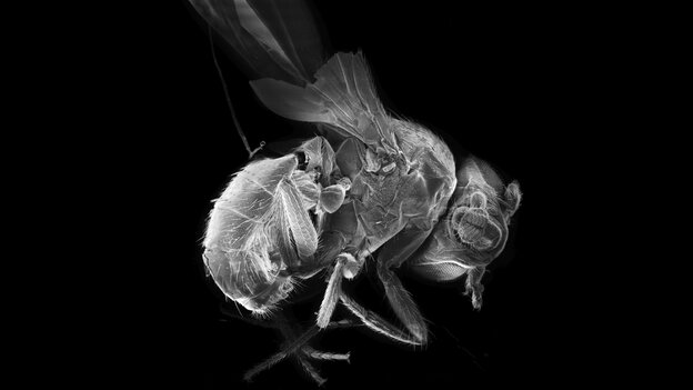 """A newly discovered neural circuit in the brain of the common fruit fly seems to serve as a sort of """"volume control,"""" turning up and down the perception of sound and light."""