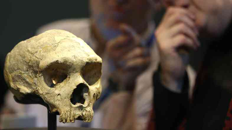 The skull of a female Neanderthal, who lived about 50,000 years ago, is displayed at the Natural History Museum in London.